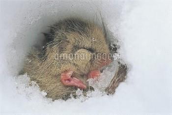 雪中冬眠するヤマネ [japonicus,Glirulus,Japanese,Dormouse]