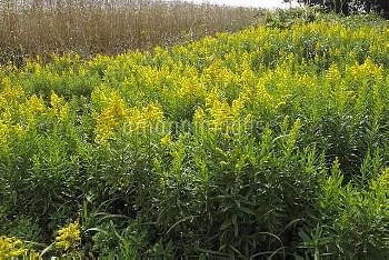 セイタカアワダチソウ 花 [Solidago,altissima,Tall,Goldenrod]