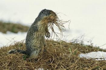 コロンビアジリス 巣材のために枯れ草を運ぶ [columbianus,Spermophilus,Squirrel,Ground,Columbian]
