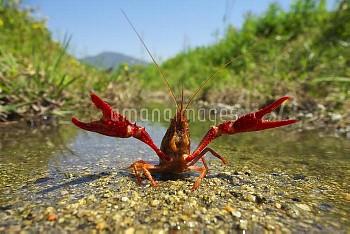 アメリカザリガニ [Red,American,clarkii,Procambarus,swamp,Crayfish]