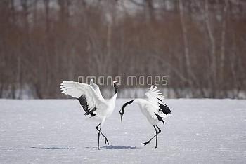 タンチョウ ディスプレイ 連続 [Grus,crane,japonensis,Japanese,Manchurian,新作RM1405,Red_crowned]