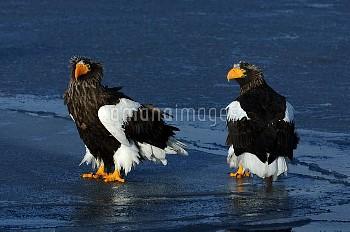 流氷上の2羽のオオワシ [Haliaeetus,Sea?eagle,pelagicus,Stellers]