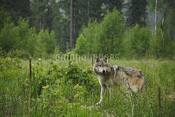 タイリクオオカミ [lupus,grey,Moountains,Canadian]