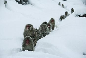 雪道の中を温泉に向かうニホンザルの群れ [fuscata,Macaca,macaque,Monkey]