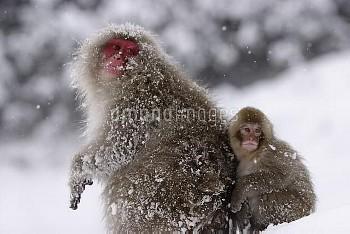 雪の日のニホンザルの親子 [fuscata,Macaca,macaque,Monkey]
