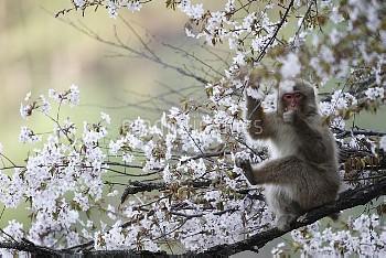サクラの花を食べるニホンザル [fuscata,Macaca,macaque,Monkey]