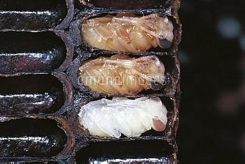 ミツバチ(セイヨウミツバチ)の蛹(働きバチ) [mellifera,Apis,honeybee]