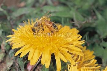 カントウタンポポの花を訪れるミツバチ(セイヨウミツバチ) [platycarpum,Taraxacum,mellifera,Apis,honeybee]