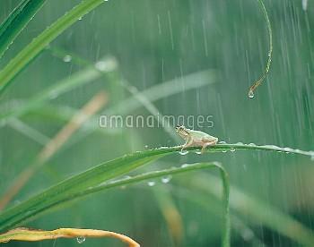 二ホンアマガエル(アマガエル) 雨 [japonica,Frog,Tree,Japanese,Hyla]