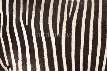 グレービーシマウマの体毛 [Equus,grevyi,Grevys,Zebra]