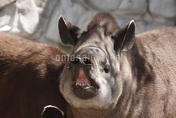 アメリカバクの鼻 [South,Tapirus,American,terrestris,tapir,Brazillian]