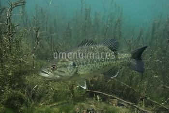 水中のオオクチバス(ブラックバス) [,micropterus,salmoides,Bass,Largemouth]