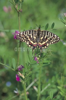 ホソオチョウのメス(春型) [Butterfly,Swallowtail,Sericin,Sericinus,montela]