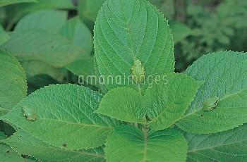 二ホンアマガエル(アマガエル) アジサイの葉の上で休む [japonica,macrophylla,Frog,Tree,f.]