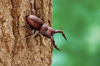 ノコギリクワガタのオス [inclinatus,Prosopocoilus,Beetle,Stag,Saw,Prosopocoilus_inclinatus_inclinatus]