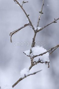 ホソミオツネントンボ 越冬成虫 [Ceylonolestes,gracilis]