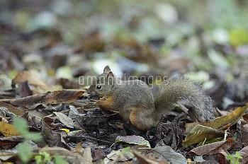 ニホンリス 堅果 [Squirrel,Sciurus,Japanese,Lis]