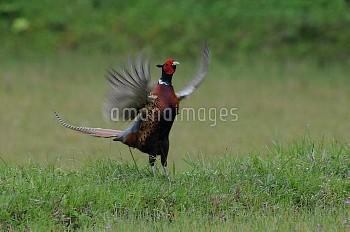 コウライキジ 鳴いたあとの羽ばたき [pheasant,Ring-necked,Phasianus,colchicus,karpowi]
