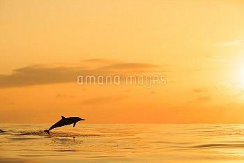 夕日をバックにジャンプするハシナガイルカ [Stenella,spinner,longirostris,Dolphin]