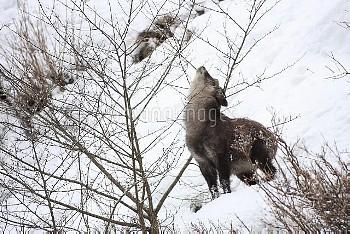雪山で木の枝を食べるニホンカモシカ [Serow,Capricornis,Japanese,crispus]