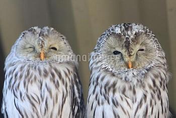エゾフクロウ [japonica,Owl,Strix,uralensis,Ural]