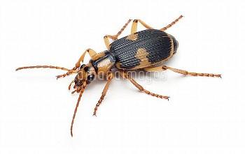 ミイデラゴミムシ [Pheropsophus,jessoensis,Ground,Beetle]