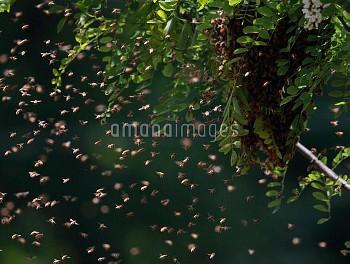 ミツバチ(セイヨウミツバチ)の分封 [melliferaApis,honeybee]