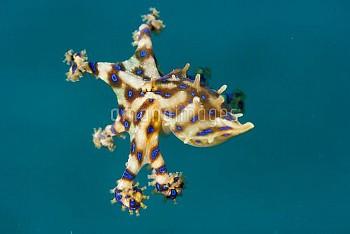 泳ぐヒョウモンダコ [Octopus,Blue_ringed,fasciata,Hapalochlaena]