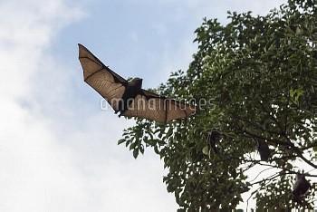 夜の採餌からねぐらの森に飛んで帰るオガサワラオオコウモリ [Pteropus pselaphon,Bonin Flying Fox,哺乳類,ローラシア哺乳類,脊椎動物,コウモリ目,翼手目,オオコウモリ