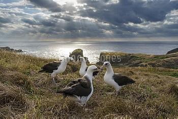 求愛ダンスをする4羽のコアホウドリ [Phoebastria immutabilis,Diomedea immutabilis,Laysan Albatross,鳥類,海鳥類,アホウドリ類,脊椎動物,