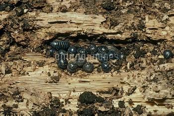 オカダンゴムシ 朽ち木の中で集団越冬 [オカダンゴムシ,Armadillidium vulgare,等脚類,ダンゴムシ,節足動物,ワラジムシ目,オカダンゴムシ科,ダンゴムシ]