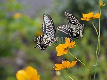 アゲハ 求愛(キバナコスモスで吸蜜するメスにオスが求愛) [ナミアゲハ,Papilio xuthus,Chinese Yellow Swallowtail Butterfly,昆虫類,昆虫,節足動物,