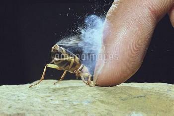 ミイデラゴミムシ ガス噴射 [Pheropsophus jessoensis,Ground Beetle,昆虫類,昆虫,節足動物,コウチュウ目,甲虫目,ホソクビゴミムシ科]