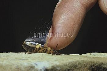 指で押さえられ、ガスを噴射するミイデラゴミムシ [Pheropsophus jessoensis,Ground Beetle,昆虫類,昆虫,節足動物,コウチュウ目,甲虫目,ホソクビゴミムシ科]
