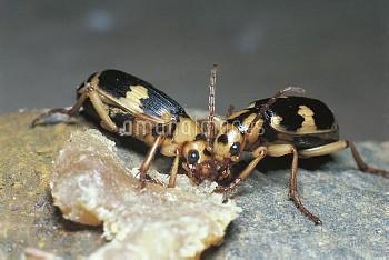 ミイデラゴミムシ [Pheropsophus jessoensis,Ground Beetle,昆虫類,昆虫,節足動物,コウチュウ目,甲虫目,ホソクビゴミムシ科]