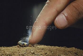 指で押さえられ、ガス噴射するミイデラゴミムシ [Pheropsophus jessoensis,Ground Beetle,昆虫類,昆虫,節足動物,コウチュウ目,甲虫目,ホソクビゴミムシ科]