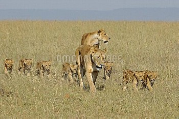 Two African lionesses (Panthera leo) lioness walking with group of cubs, Masai Mara National Reserve