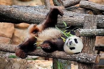 Giant panda (Ailuropoda melanoleuca) lying on climbing frame eating bamboo, captive, Zoo Parc de Bea