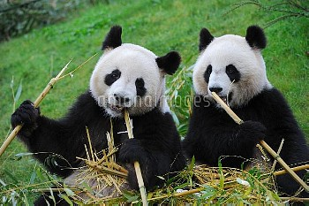 Giant panda pair (Ailuropoda melanoleuca) two  sitting feeding on bamboo, captive, Zoo Parc de Beauv