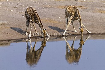 South african giraffe (Giraffa camelopardalis giraffa) drinking. Etosha National Park, Namibia.