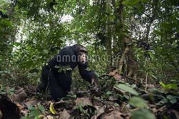 Western chimpanzee (Pan troglodytes verus)   young male 'Jeje' aged 13 years walking through the for