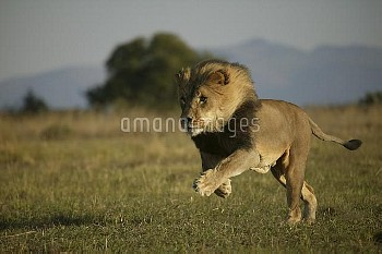 Lion (Panthera leo) male running, Pietersburg, Northern Province, South Africa. Taken on location fo