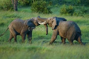 African Elephant (Loxodonta africana) males fighting. Masai-Mara Game Reserve, Kenya. Sequence 1 of