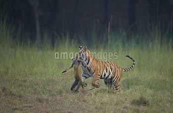 Bengal Tiger (Panthera tigris) sub-adult, about 16-19 months old, running through a meadow with a Ha