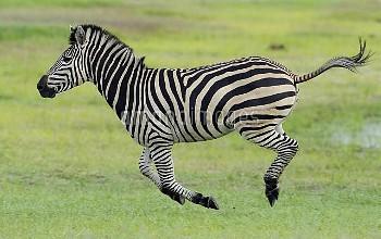Common zebra (Equus quagga) running profile, Hwange National Park, Zimbabwe