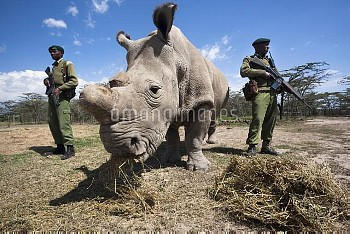 Northern white rhino (Ceratotherium simum cottoni) female called Najin, watched over by armed guard,