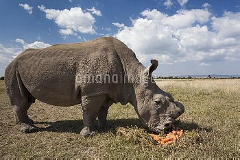Northern white rhino (Ceratotherium simum cottoni) dehorned male called Sudan, watched over by armed