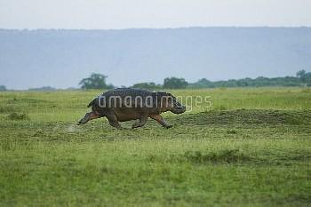 Hippo (Hippopotamus amphibius) male running, Masai-Mara Game Reserve, Kenya. Vulnerable species.