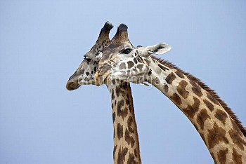 Maasai Giraffes (Giraffa camelopardalis tippelskirchi) courtship display Maasai Mara, Kenya, Africa