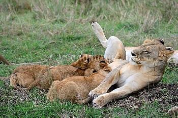 Lion (Panthera leo), cubs suckling, Masai Mara National Reserve, Kenya, Africa.